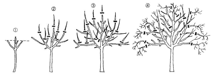b6ff1ebbf Prerezávanie mladých stromov na jeseň. Prerezávanie sadeníc po výsadbe
