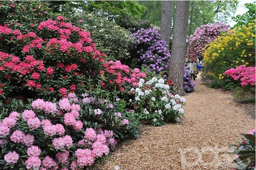 Rhododendron Planting And Care Rhododendron Plant Species