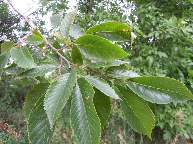 Rośliny Szerokolistne Rośliny Leśne Liściaste